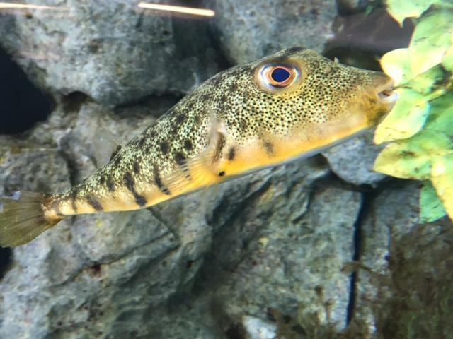 Close up of a Northern Puffer in a tank.